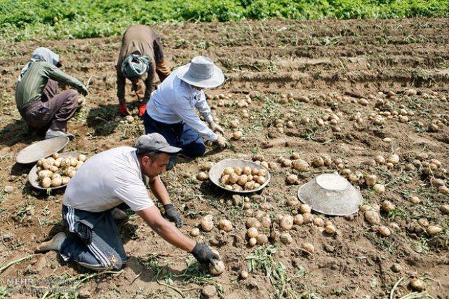 افزایش ۵۳ هزارتنی تولید سیب زمینی در کشور