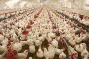 تورم تولیدکننده مرغداریهای صنعتی اعلام شد