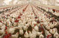 قیمت مرغ از 12 هزار تومان عبور کرد