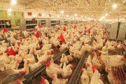 تاکنون ۴هزار و ۳۰۰ تعاونی در گرایش مرغداری گوشتی به ثبت رسیدند